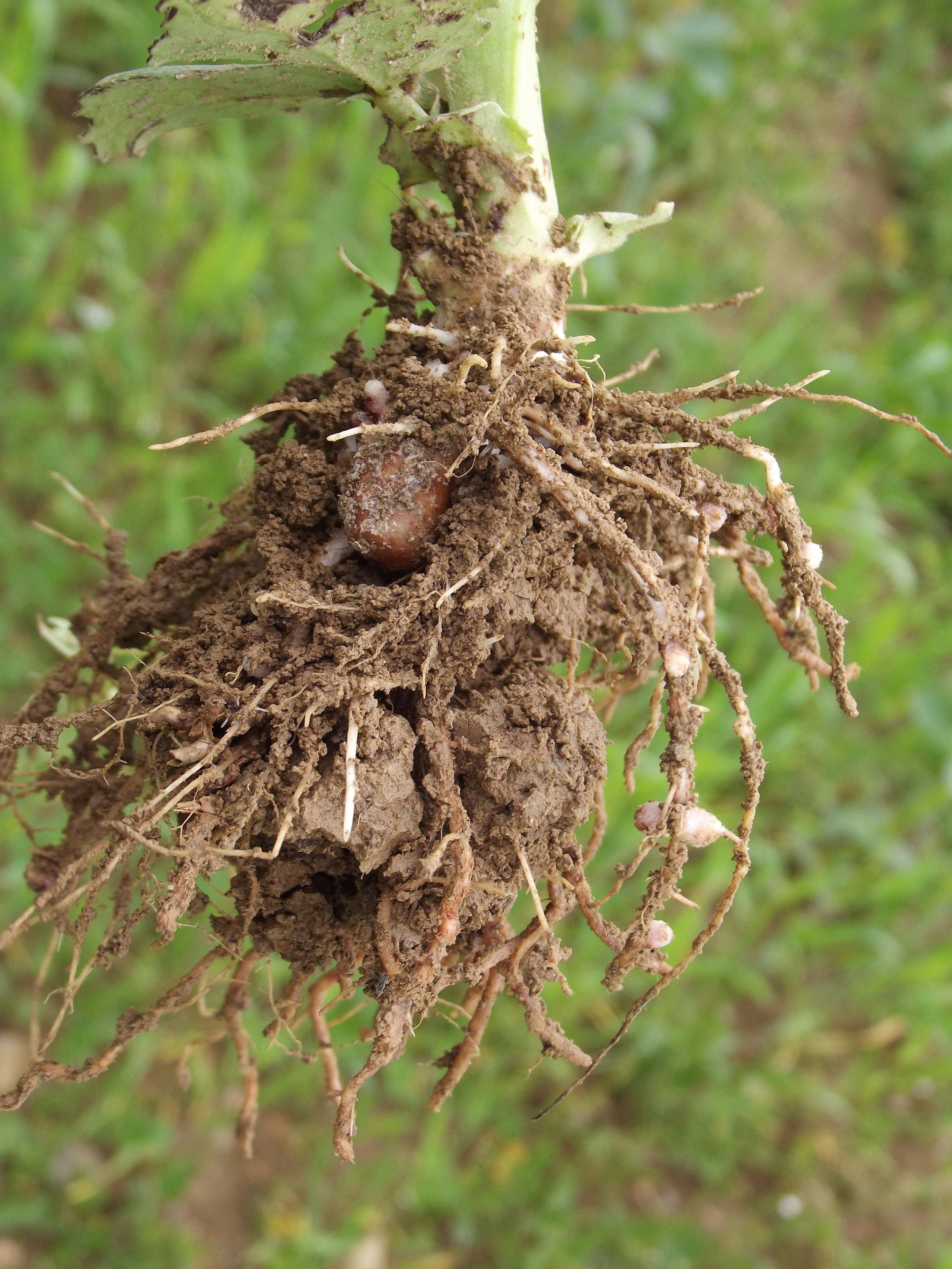 Wirkung verschiedener Verfahren der Schwefeldüngung auf Ertragsleistung und Vorfruchtwert von Körnerleguminosen im ökologischen Landbau